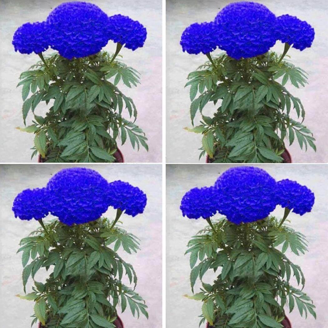 New Sales Astar 20 Particle/50 Particle Blue Calendula Officinalis Seeds Bonsai Flower Seeds - intl
