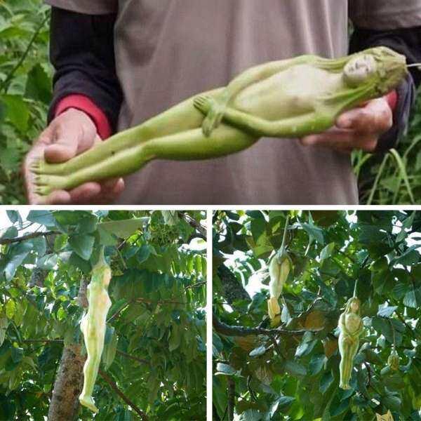 Taidu Fantastic Mall Health Fruit Seed Seeds Fresh Organic Female Ginseng Bonsai Home