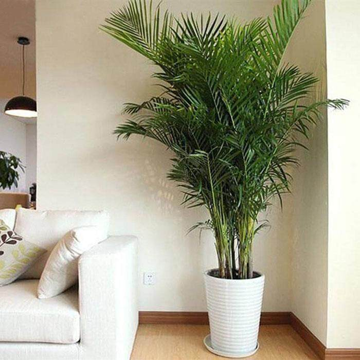 Linemart 5Pcs Home Decoration Indoor Plants Areca Butterfly Palm plant - intl