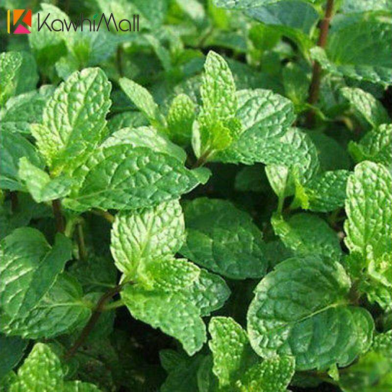 1000pcs Mint Peppermint Herb Seeds Aroma Saranair Aromatic Leaves Viridis