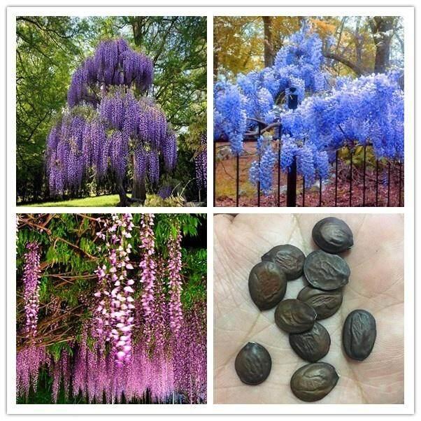 10 Pcs Wisteria Sinensis Seeds Wisteria Flowers Purple Violacea Plena Vine Seeds Garden Decor