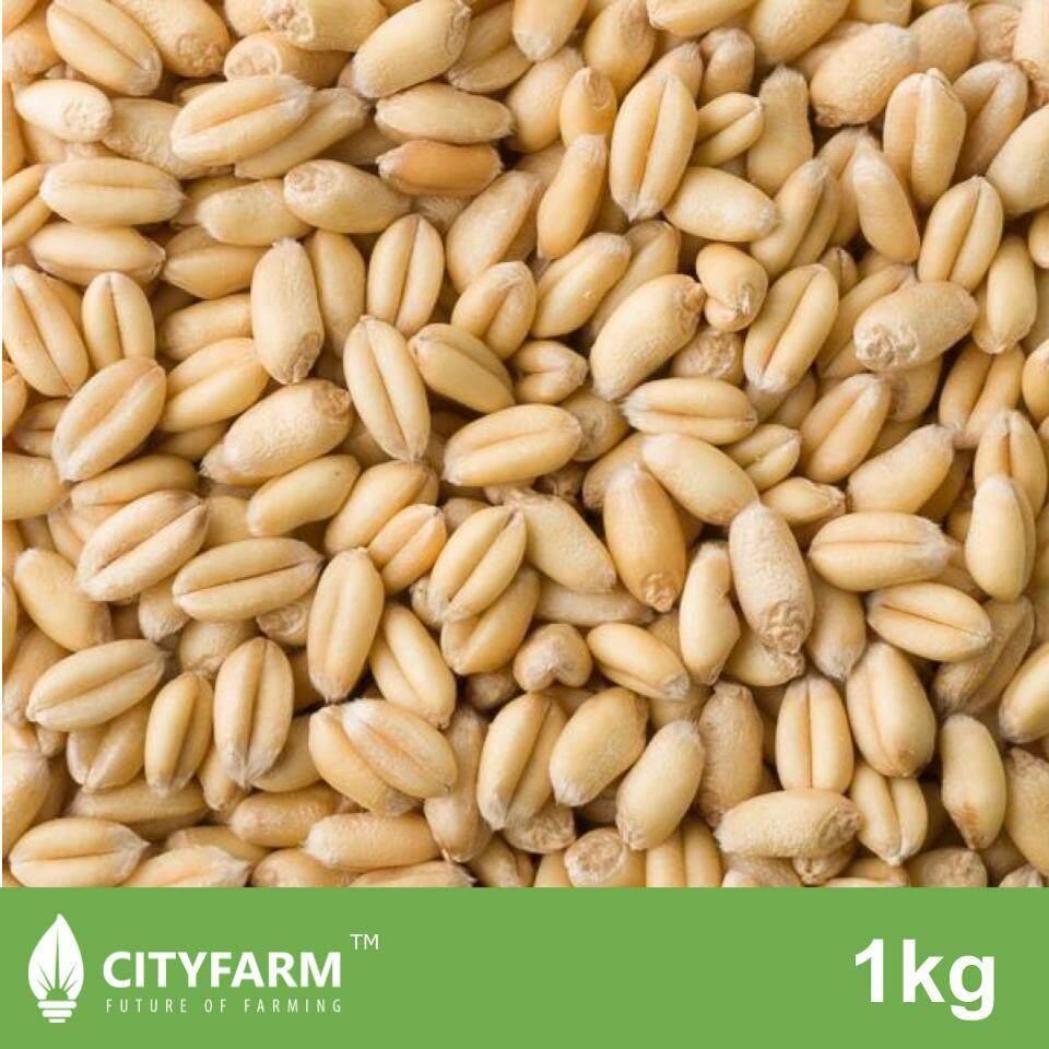Organic Wheatgrass Seeds 小麦草 1Kg