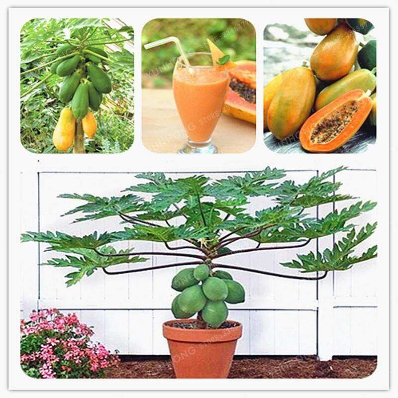 6pcs Maradol Papaya Seeds Vegetable Fruit Tree Plant Home Garden Decoration Health Fruits Seeds