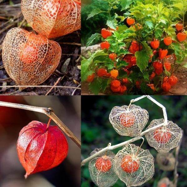 Chinese Lantern Plant Seeds 50pcs Hysalis Alkekengi Flowers Red Lantern Fruits Seeds Plant Physalis Alkekengi Bonsai Ornamental Groundcherry Seed