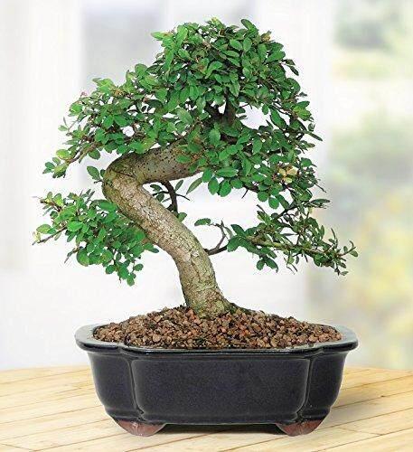 GPS Green Plant Society Bonsai Tree Live
