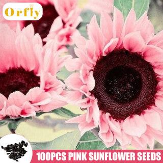 Bộ 100 hạt giống hoa hướng dương màu hồng thích hợp trồng vườn nhà - INTL thumbnail