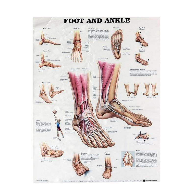 80x60cm Foot And Ankle Poster Anatomical Muscular And Skeletal Chart For Human Body Foot Massage Educational Teaching Training