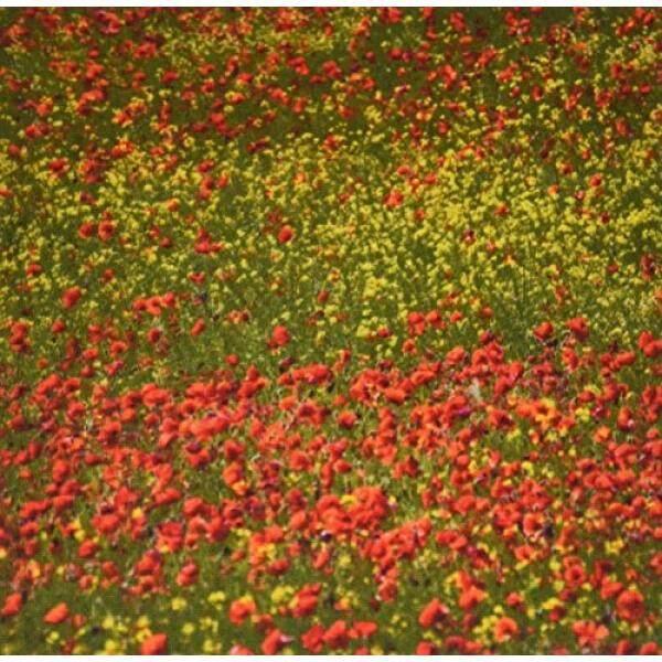 3 Drose Poppy Medan Dengan Mekar Penuh, Tuscany, Italia, Eu16 Teg0274, terry Eggers Mouse Alas (Mp_138145_1)-Internasional