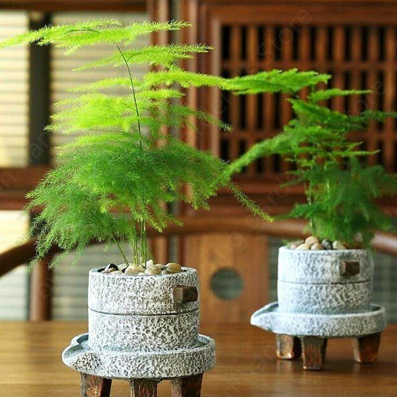 6 Pcs/Pack Asparagus Fern Tree Seeds Evergreen Indoor Potted Plants Bonsai Seeds