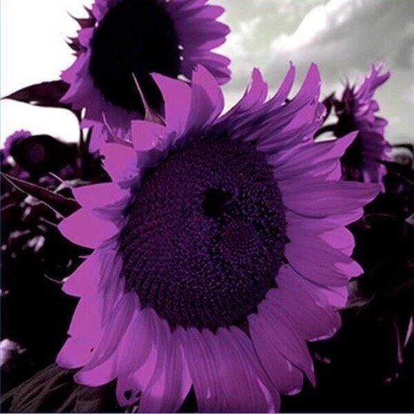 LazadaChoice New 20/Pcs Purple Sunflower Seeds Sun Flower Plant Flower Beautiful Flower
