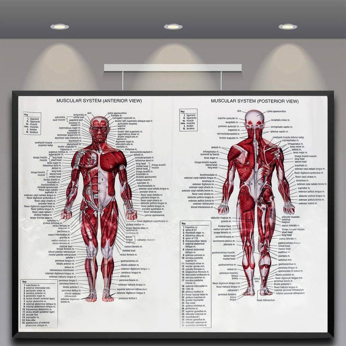 60cm*80cm Muscle System Posters Silk Cloth Anatomy Chart Human Body School Medical Science Educational Supplies Home Decoration