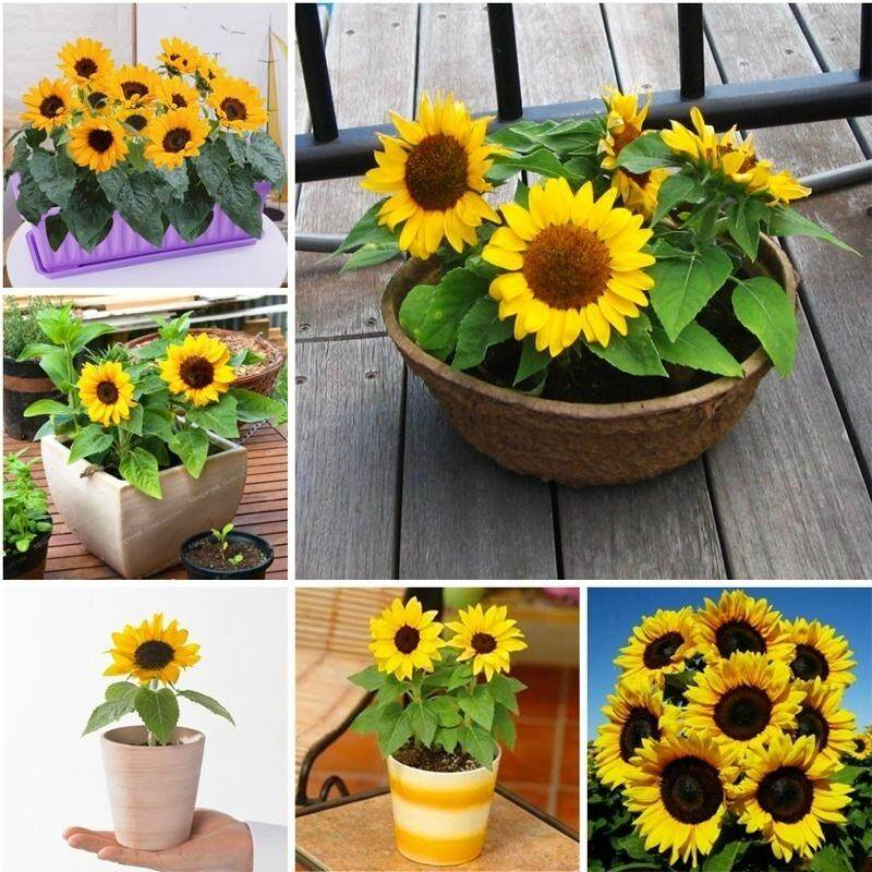 15pcs / bag sunflower seeds bonsai flower seeds sunflower seeds planting homes