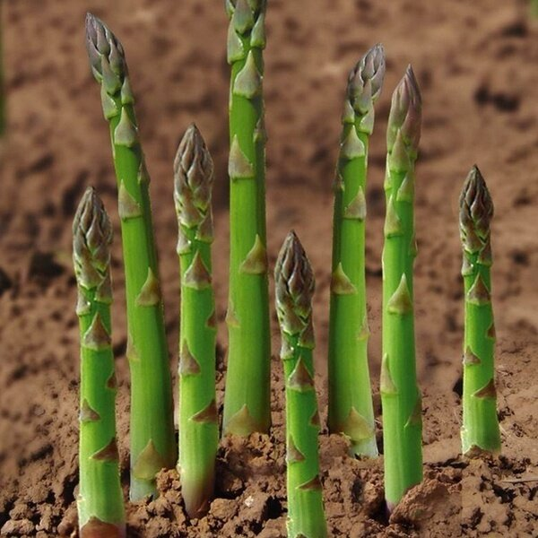 20pcs/袋 Seeds Green White Asparagus Seed Asparagus Organic Vegetable seeds
