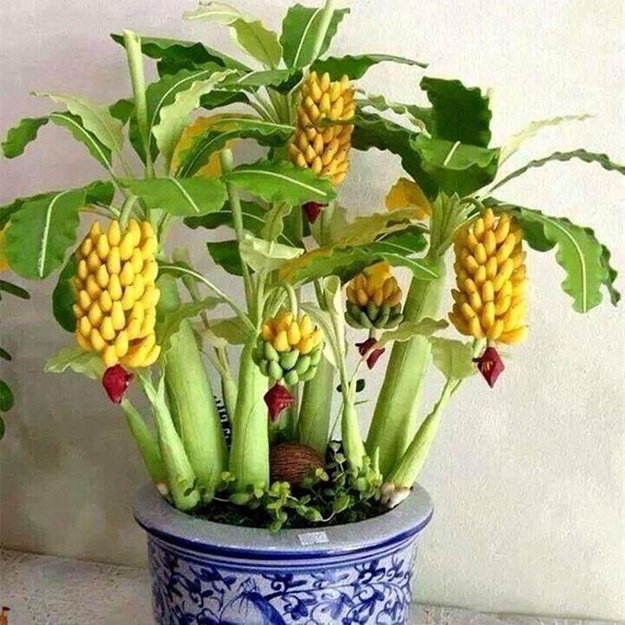 ไซเบอร์ใหญ่ส่วนลดใหม่หายากแคระกล้วยเมล็ดต้นไม้บอนไซมินิผลไม้ Exotic บ้านสวนพืช (50 ชิ้น) - นานาชาติ.