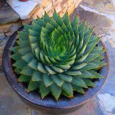 Cyber Promotion Aloe Vera Seeds Rare Herb Seeds Cosmetic Bonsai Succulent Plants Seeds Garden