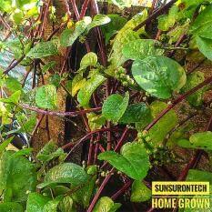 Red Stem Malabar Spinach Seeds