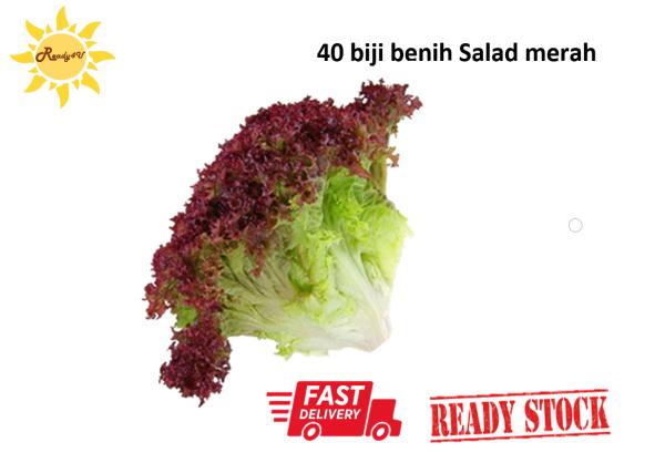 40pcs benih salad merah red lettuce seeds 散叶红生菜种子