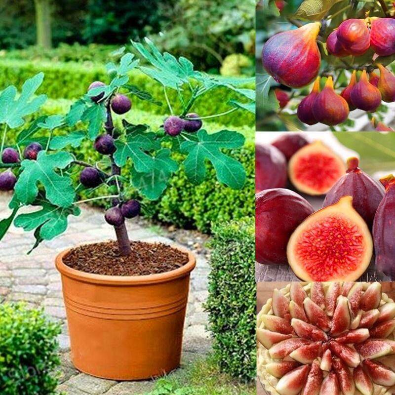 100pcs Fig Seeds Tropical Ficus Carica Seeds Bonsai Rare Fruit Seed Home Planting