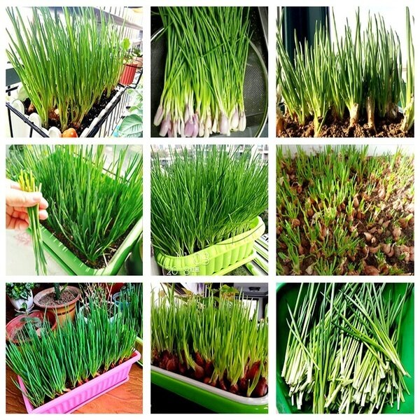 5g / bag Organic Shallot Green Onion Vegetable Seasoning Seeds Garden Bonsai Plant