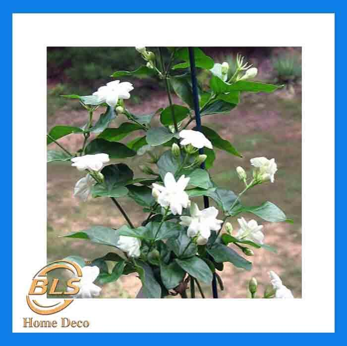 REAL LIVE PLANT JASMINUM SAMBAC JASMINE GRAND DUKE OF TUSCANY 茉莉花 WITH POLYBAG