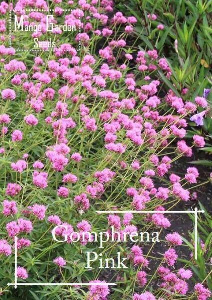 Gomphrena Pink Flower Seeds - 100 seed *Pot Friendly* Benih sayur sayuran Sesuai Untuk Pasu