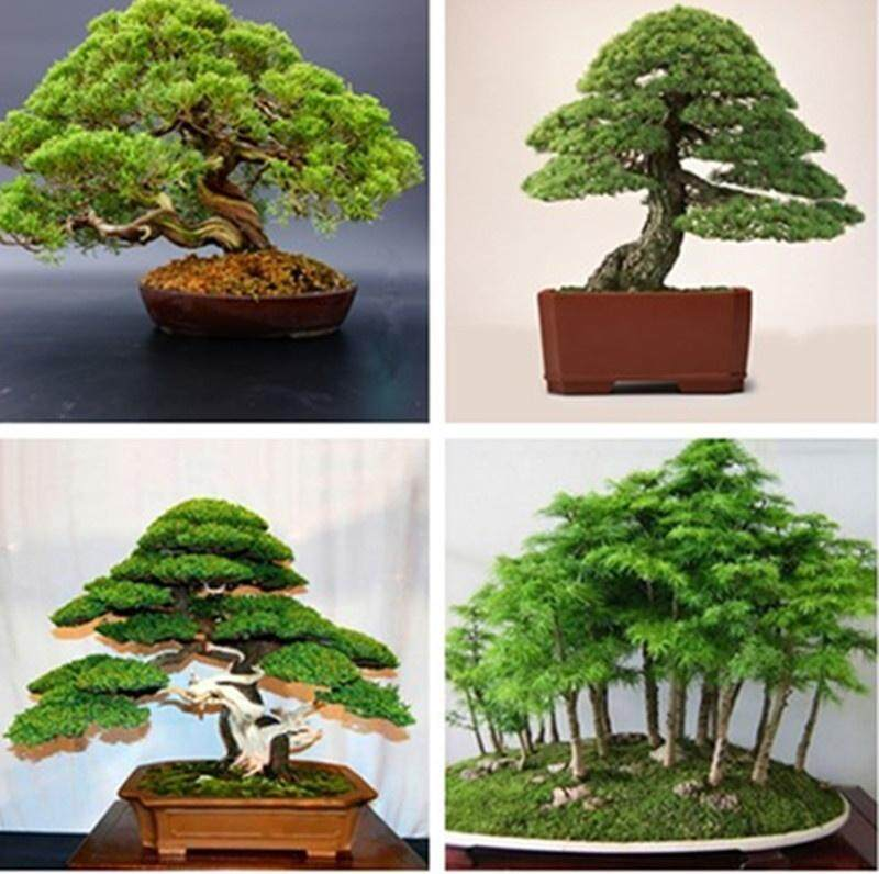 20pcs Japanese White Pine Pinus Parviflora Tree Bonsai Seeds Home Plant