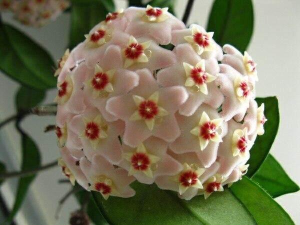 Cây Cảnh Hoya Chậu Carnosa Vườn Hoa Thực Vật Lâu Năm Trồng 20 Chiếc