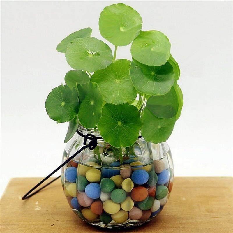 50Pcs/bag Copper Grass Pilea Seeds Cold Water Flower Seeds Indoor Putdoor Pot Seed