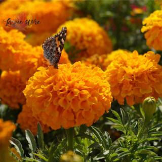 [La Vis] 100 Hạt Giống Maidenhair Màu Vàng Cam Xanh Dương Cây Cảnh Vườn Nhà Hoa Cúc Vạn Thọ Thảo Mộc Trong Chậu Cho Hạt Giống Hoa thumbnail