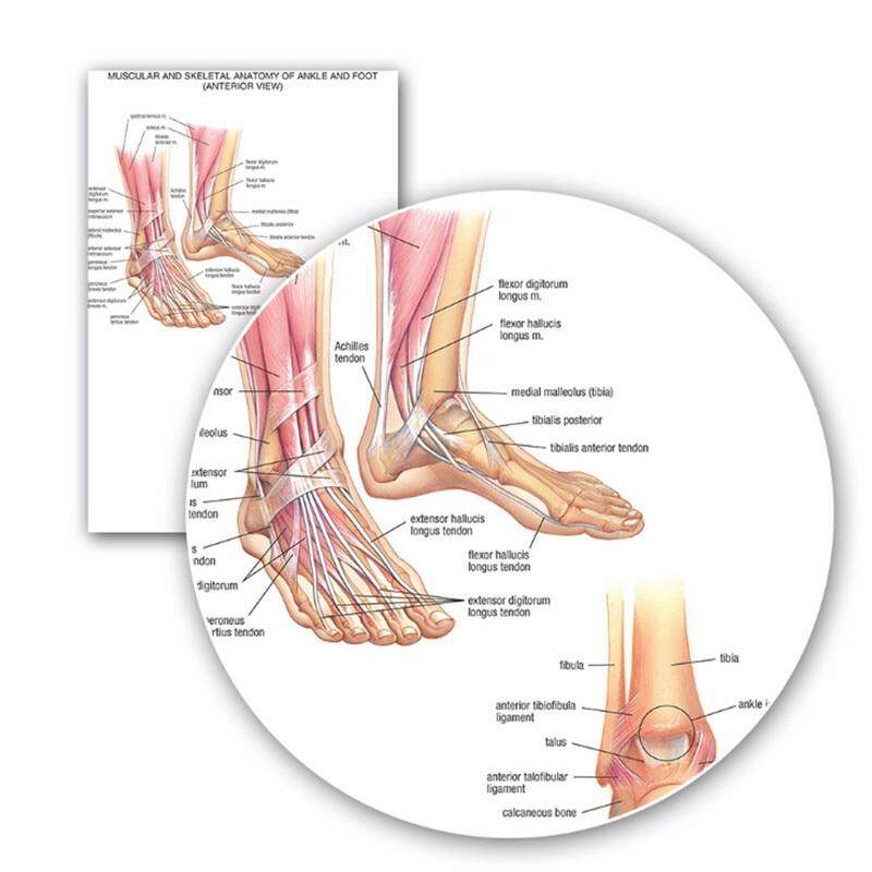 60x90cm Educational Muscular Skeletal Ankle Posters Silk Cloth Chart Human Body Anatomy School Teaching Resource Medical Supply
