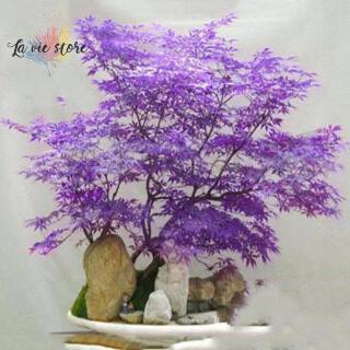 30 hạt giống cây phong Nhật Bản Palmatum Atropurpureum [La VIS] - INTL thumbnail