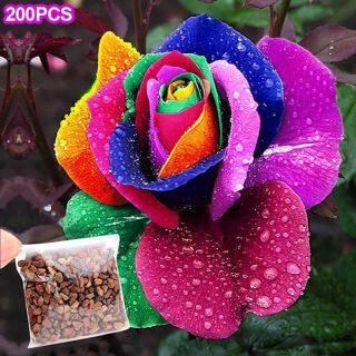 200 Hạt Giống Hoa Hồng Cầu Vồng Nhiều Màu Sắc, Cây Vườn Nhà thumbnail