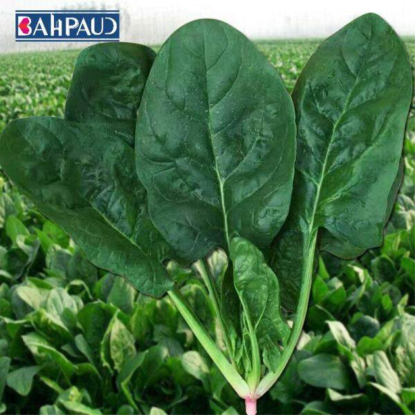 Bahpaud Spinach Seeds About 1000pcs Four Seasons Vegetable Seeds