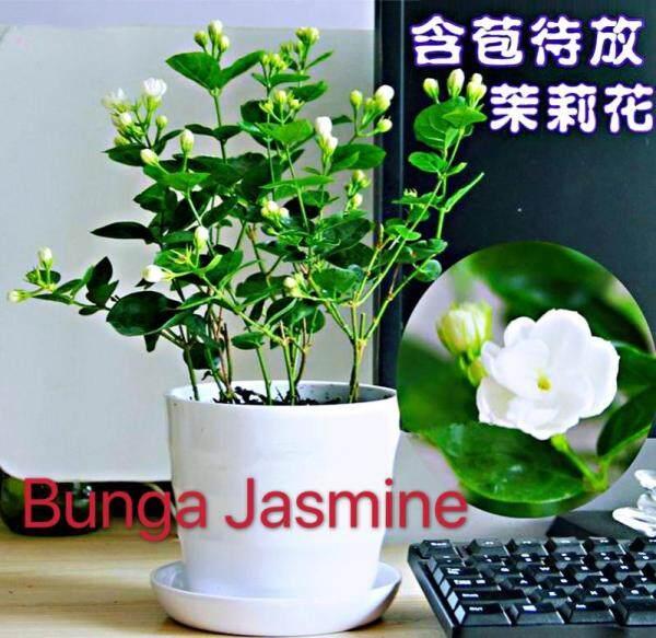 Biji Bernih Bunga Melur Putih (10 seeds) /茉莉花种子 /Bonsai White Jasmine Flower Seeds