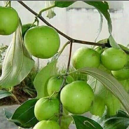 anak pokok bidara epal ( kawin)