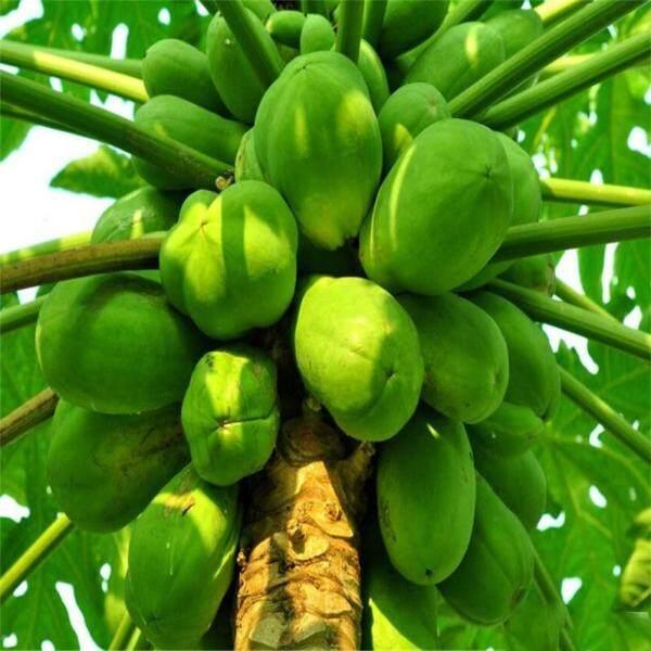 Tavey 20Pcs Papaya Seeds Fruit Tree Plant Buah Betik Sekaki Home Garden Decoration Fruits Seeds