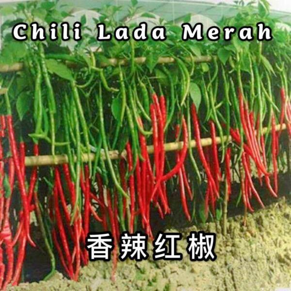 Biji Benih Lada Cili Panjang Pedas ( 30seeds ) / 红线椒籽  /Extra-long line pepper pepper seeds