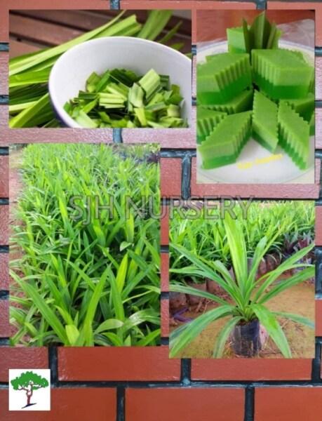 SJH - Anak Pokok Pandan Wangi Makan / Pandan Herb  / 班丹叶树苗种植 [Real Plant/Live Plant/Pokok Hidup]