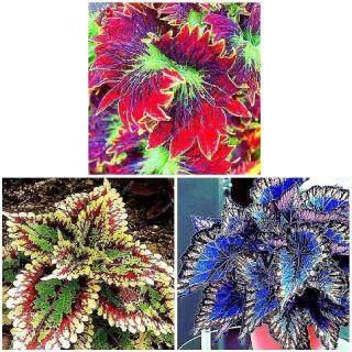 100 Hạt Giống Hoa Coleus Đẹp Hiếm, Vườn Cây Trồng Chậu Hoa Bonsai thumbnail