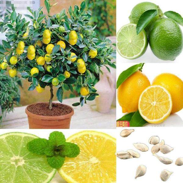 20 PCS Lemon Bonsai Lemon Tree Seed Rare Fruit Tree for Home Garden Courtyard ,Edible Fruit Plants