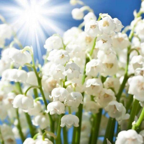 100Pcs Fragrant Flowers Lily of the Valley Plant-Seeds Radiation-Proof Flores Convallariae Flowers Garden Balcony Planting Seed