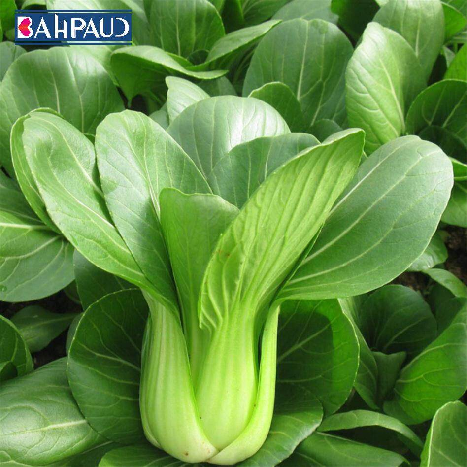 Bahpaud Pakchoi Seeds About 500pcs Balcony Vegetable Seeds Four Seasons Easy To Plant Rapeseed