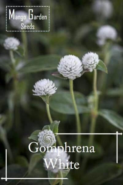 White Gomphrena Flower Seeds - 100 seed *Pot Friendly* Benih sayur sayuran Sesuai Untuk Pasu