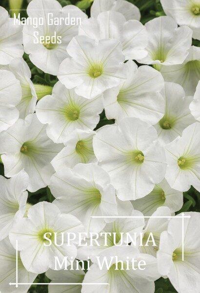 Petunia Mini White Flower Seeds - 30 seed *Pot Friendly* Tanam Pasu, Biji Benih Bunga Supertunia Mini - Mango Garden