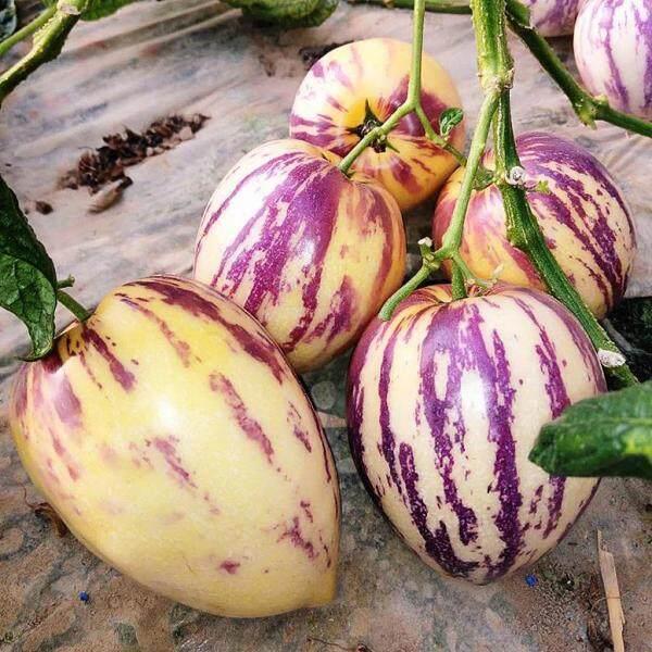 Biji Bernih Pepino Melon Bonsai (10 Seeds) / Ginseng Fruit Seeds /人参果种子