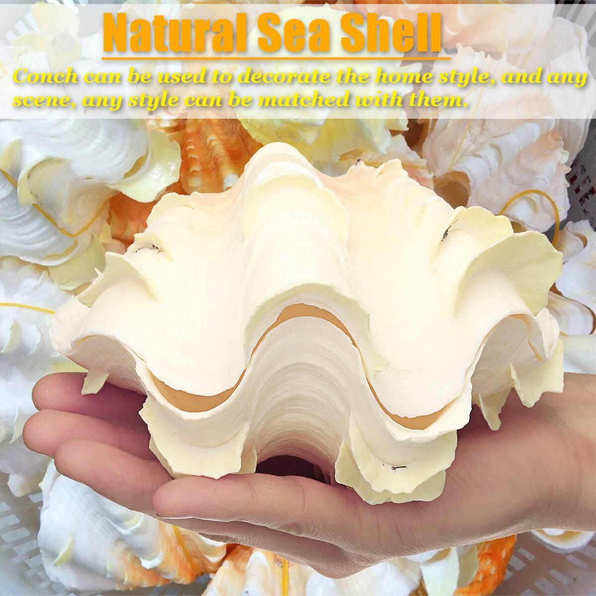 16-18cm Natural Sea Shell Conch Collectible Home Furnishing Marine Sea Decor