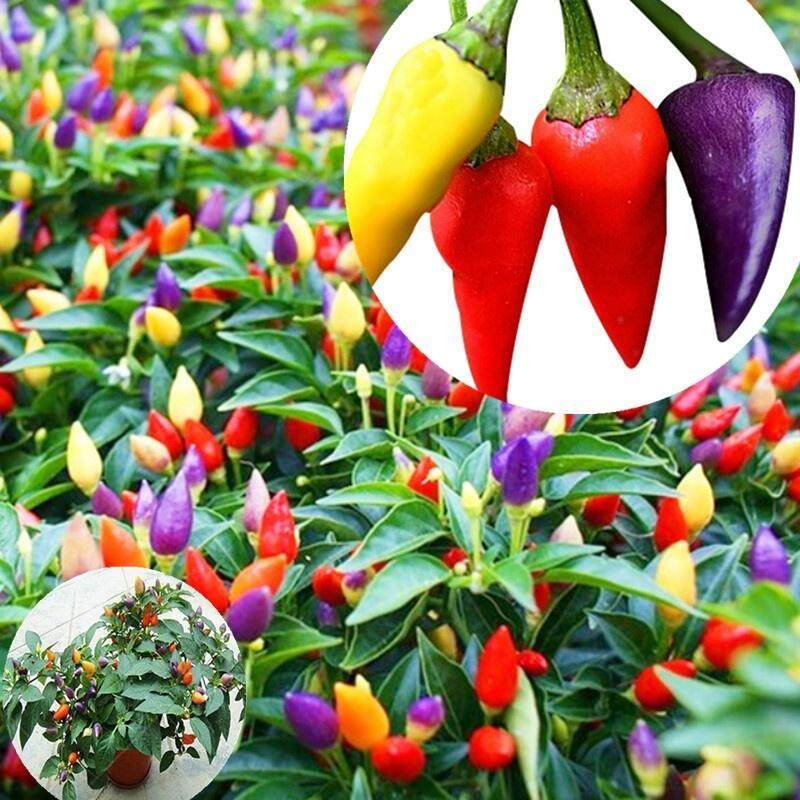 Multicolor Garden Balcony Potted Plant Pepper Seeds Vegetable Seeds Both Ornamental and Eat
