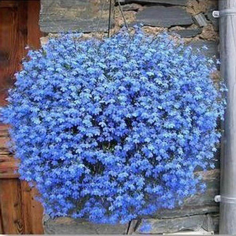80pcs*Blue linen flower Starry regatta series hanging varieties of seeds 40pcs seeds