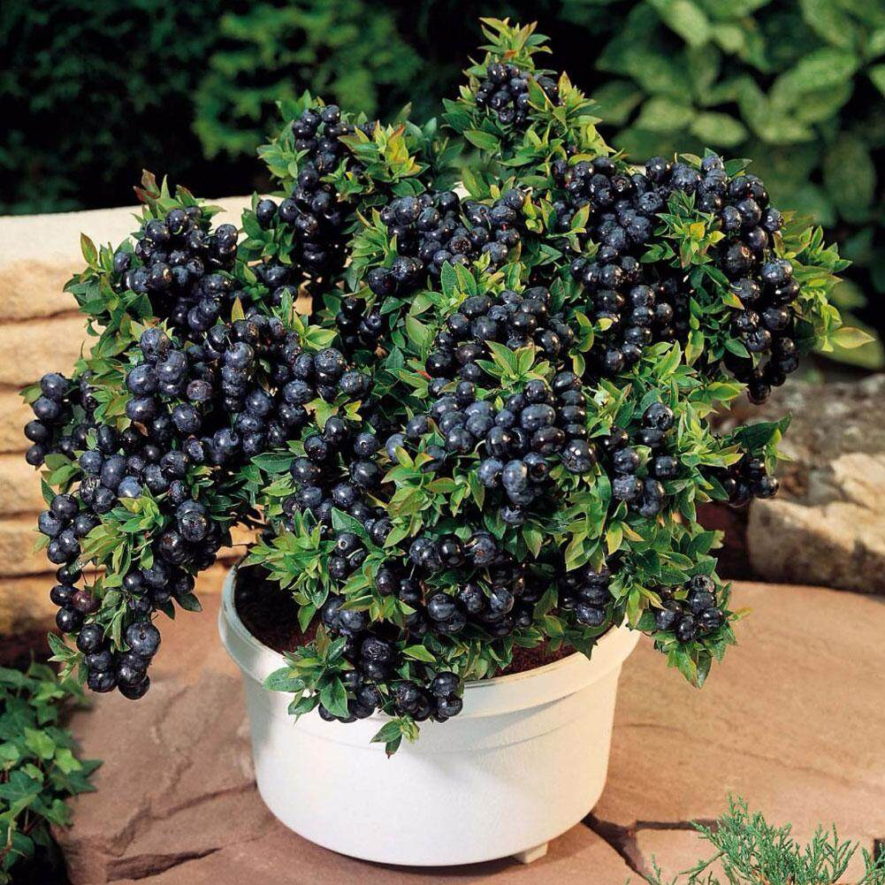 30 Seeds/pack Blueberry Seeds Bonsai Edible Fruit Seed For Indoor/outdoor Available By Fashiworld156.