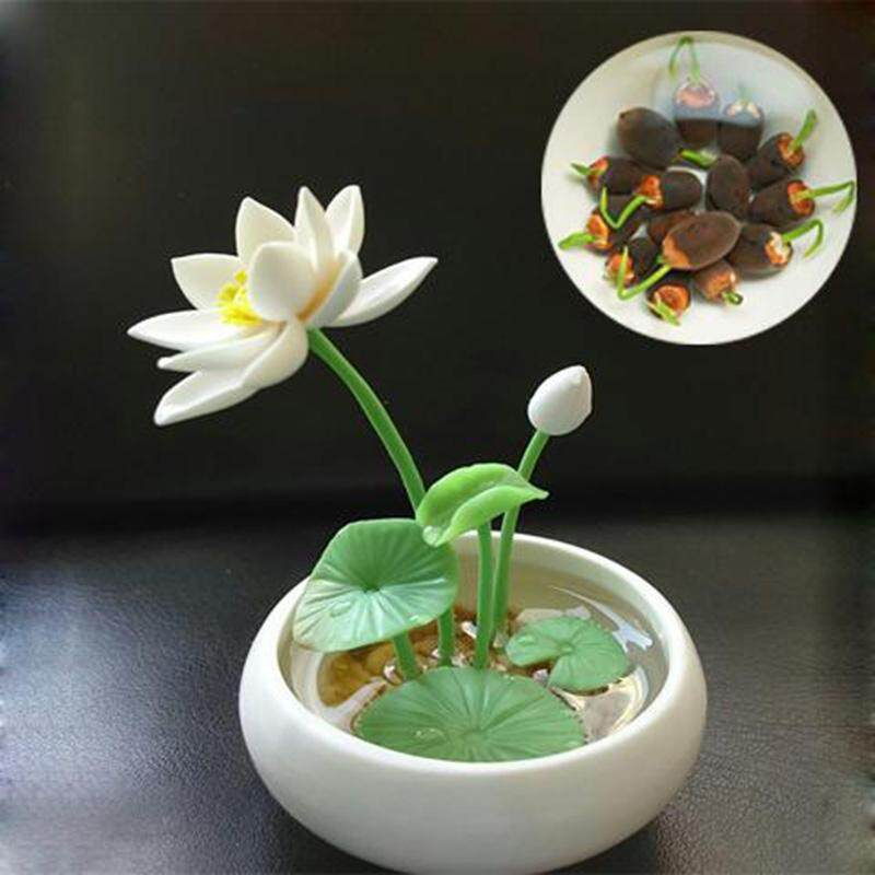 9734 Top Quality Versea 40 Pcs Water Lily Seeds Mix Mini
